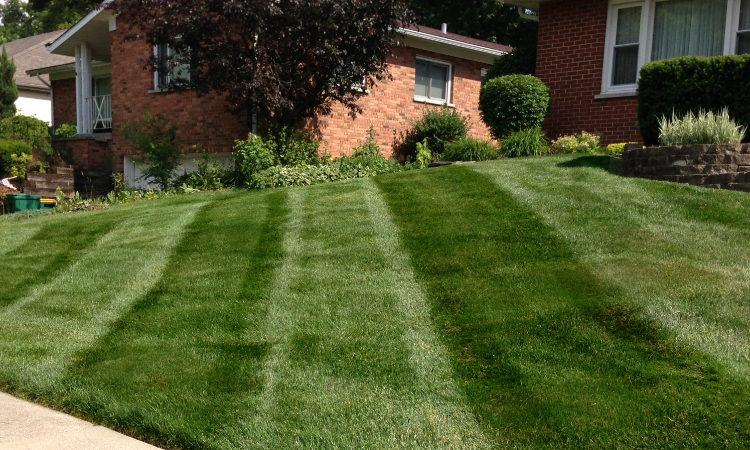 Kentucky bluegrass freshly mowed.